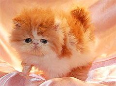 Persian Cat Breeders in Arizona - Persian Kittens for Sale in Arizona ...