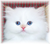 Persian Cat Breeder Directory in Colorado - Kittens for SALE
