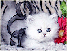 Cat Breeders in Florida - Cattery List - List of Catteries