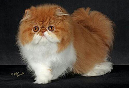 Cat Breeders in Florida - Cattery List - List of Catteries in