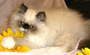 Persian Kittens For Sale In North Carolina
