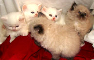Persian kittens for sale near charlotte nc