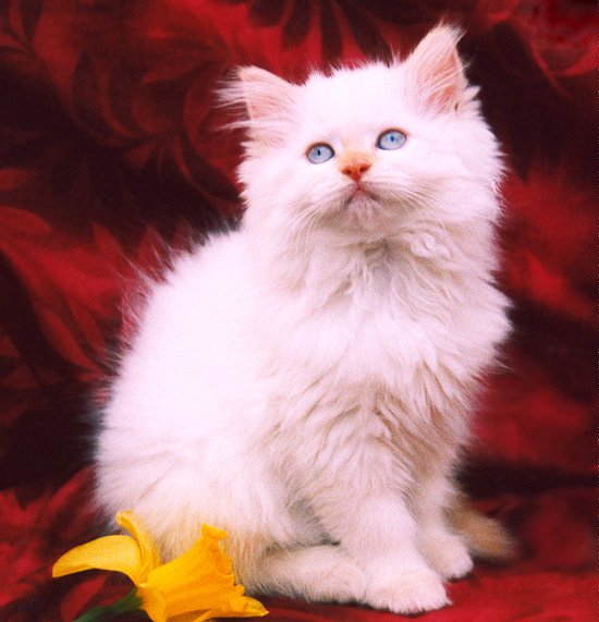 Flame Point Himalayan Cat Photos http://persiankittenempire.com/kittens-other-breeders-PARTNER-FlamePointCat-NY-1.htm