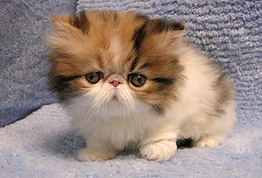 Cat Breeders in Pennsylvania - Persian Kittens for SALE - GLOBAL