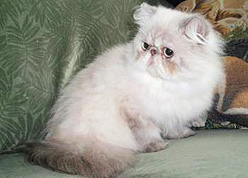 Persian cat for sale in nashville tn