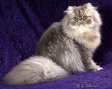 Persian cats for sale in houston texas