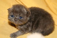 blue persian - Persian Kittens - Pure Breed Persian & Himalayan Kittens with Pedigree
