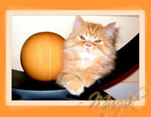 Persian Kittens - Pure Breed Persian & Himalayan Kittens with Pedigree